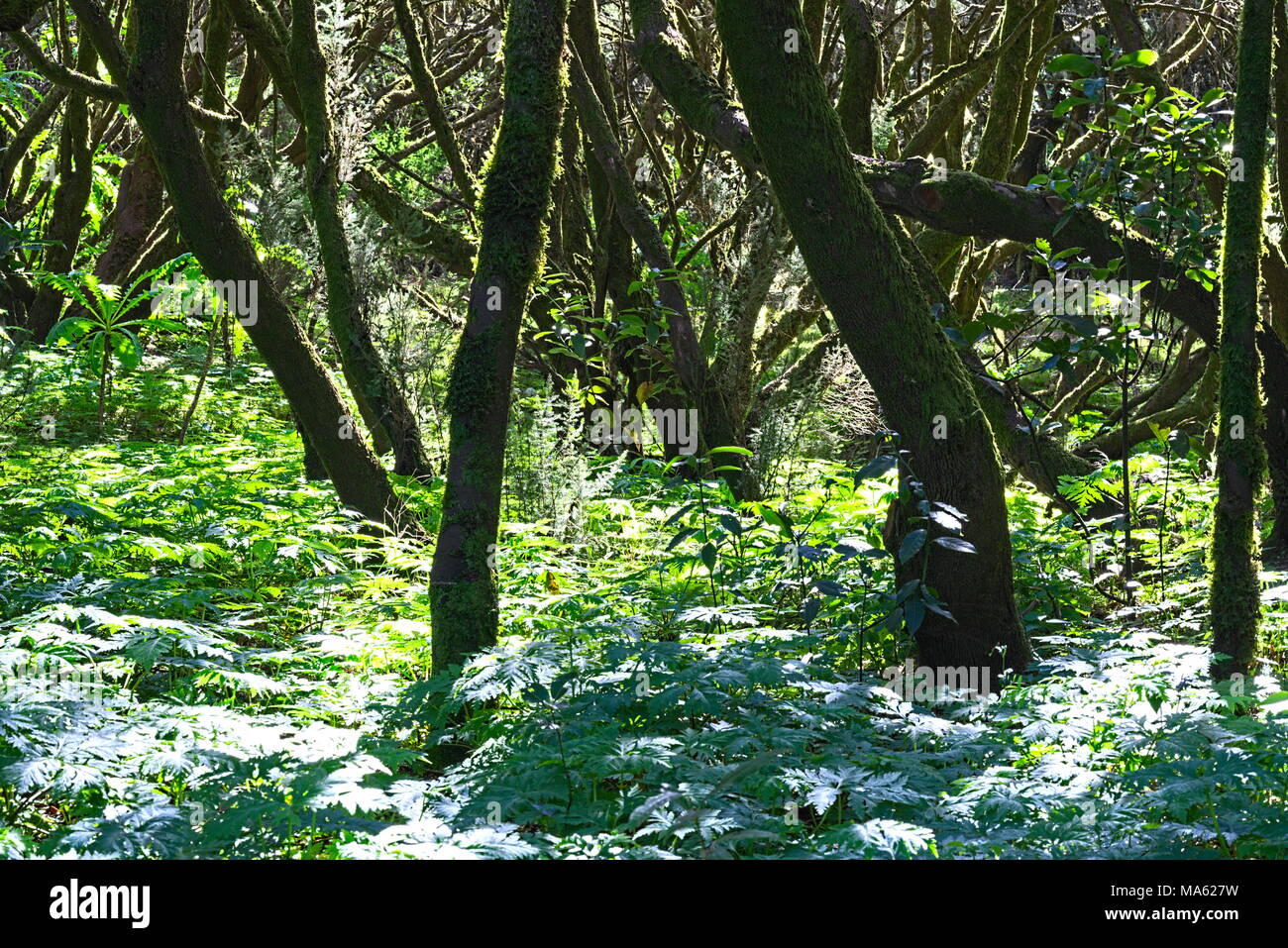 Trees and plants of the jungle of La Gomera - Stock Image