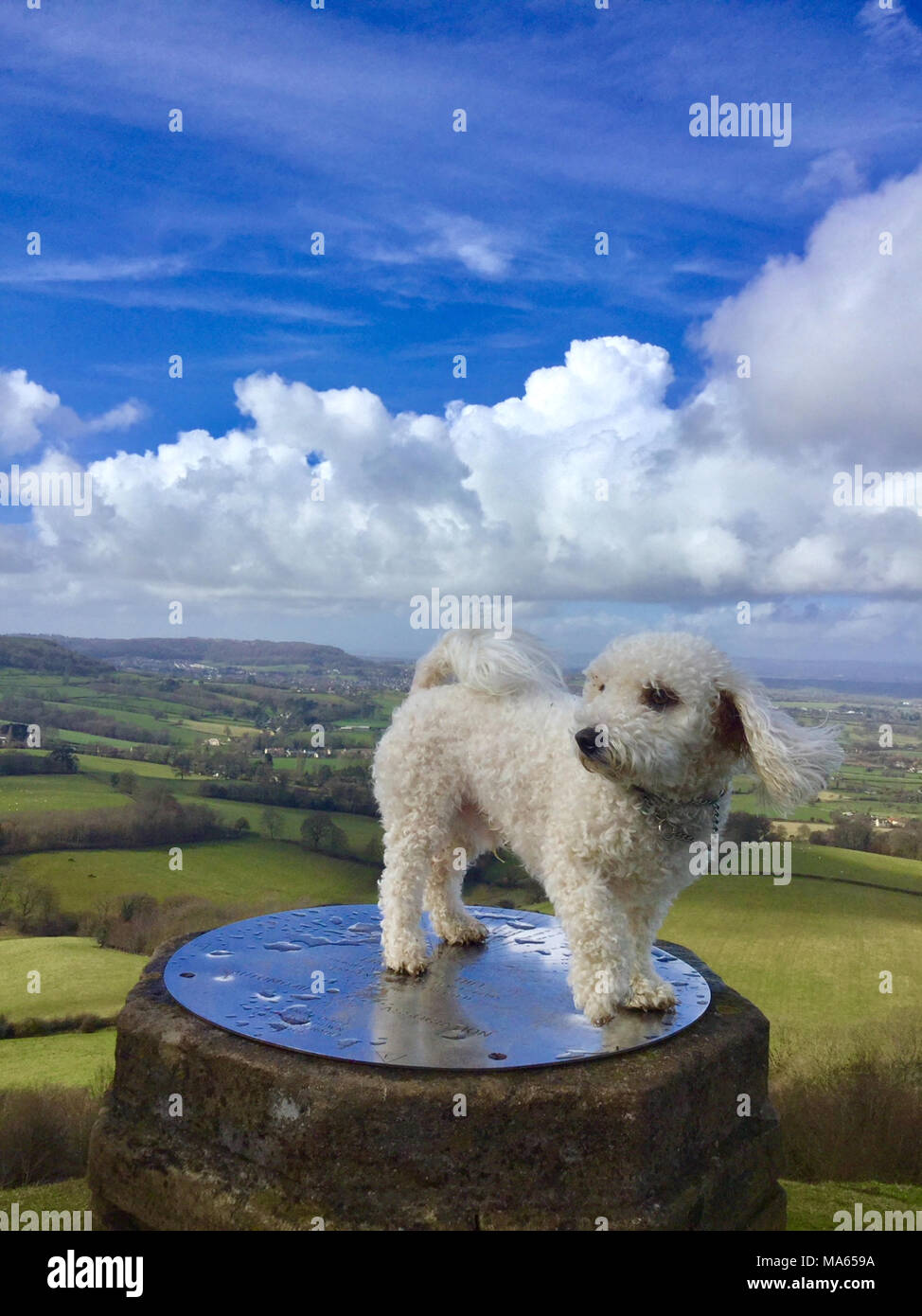 Bichon Frise Standing on an Obelisk in Gloucestershire against a backdrop of English Countryside with a view of The River Severn and Wales with Blue S - Stock Image