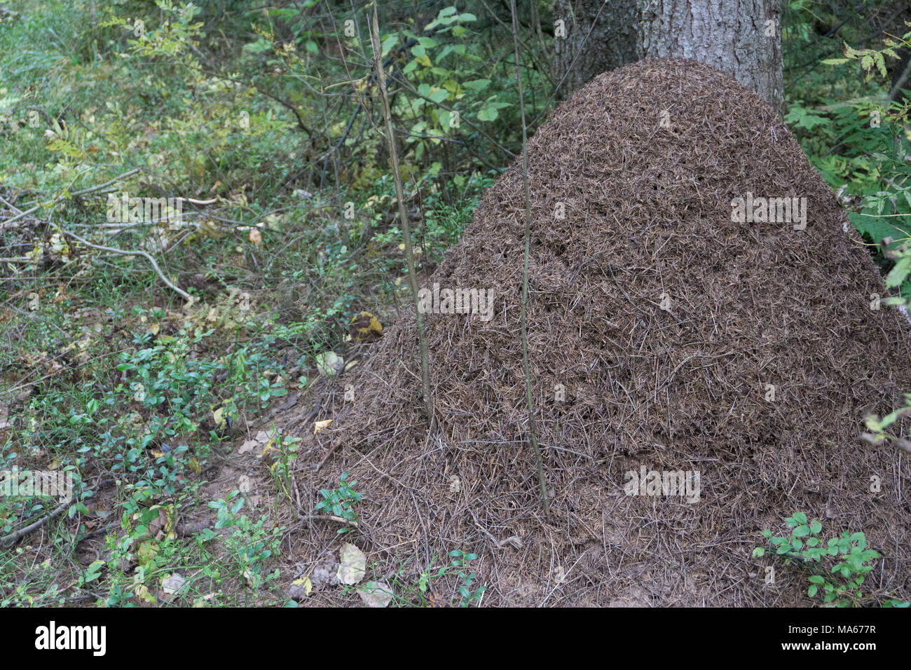 A large anthill in a sunny autumn forest. Ants are preparing for wintering, they warm their dwelling with small dry branches and fallen old pine needl - Stock Image
