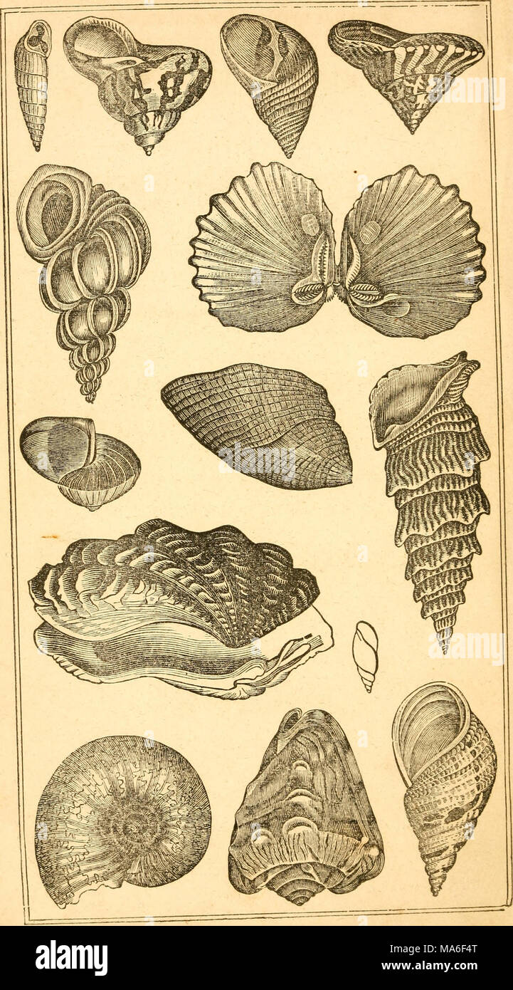 . Elements of conchology / Prepared for the use of schools and colleges - Stock Image