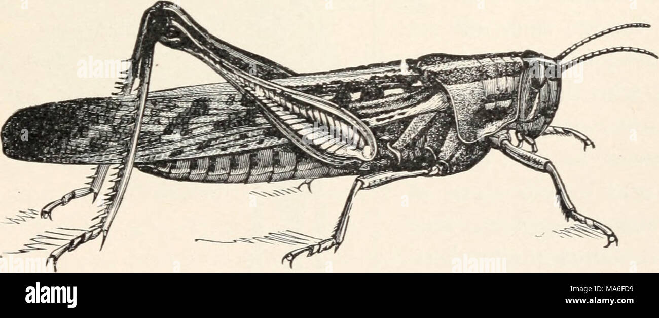 . Elementary entomology . FIG. 100. The bird grasshopper, or American locust. (Natural size) (After Riley) the Rockies is the Carolina locust, which flies up along the roadside and in waste places where it lives. It closely matches its surroundings - Stock Image