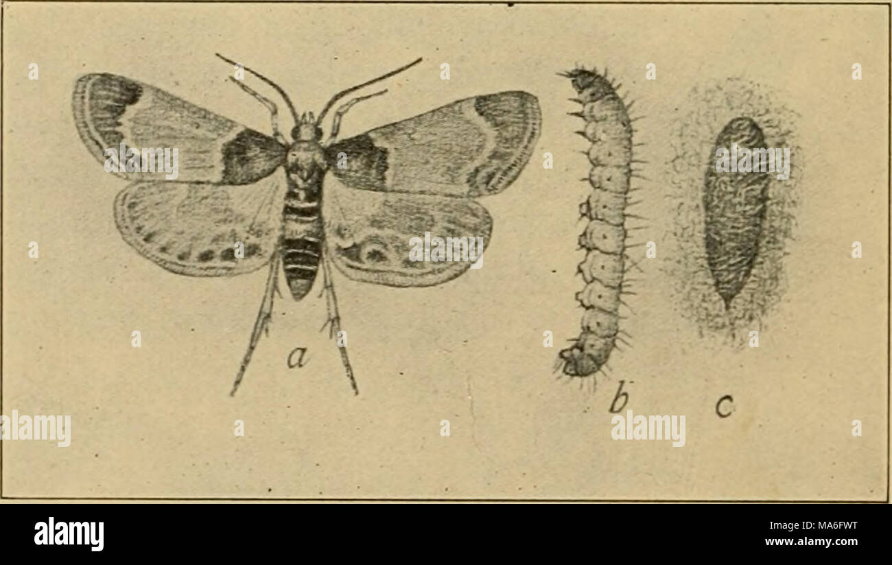 . Elementary entomology . Fig. 294. The meal snout-moth [Pyralii farinalis Linn.). (Twice natural size) a, adult moth; b, larva; c, pupa in cocoon. (After Chittenden, United States Department of Agriculture) worm {Pyralis cos talis), which is abundant in stacks or mows of old clover hay, upon which it feeds and which is spoiled by being cov- ered with its silken webs and excrement. The moth is of a lilac - Stock Image