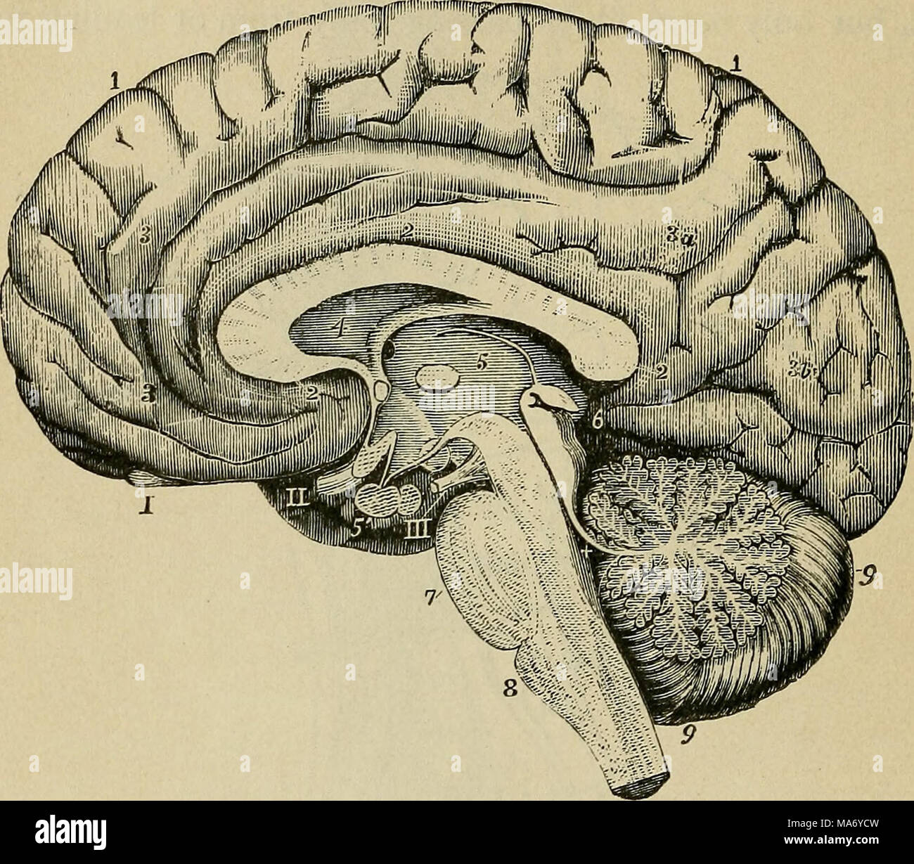Pineal Gland Stock Photos & Pineal Gland Stock Images - Alamy