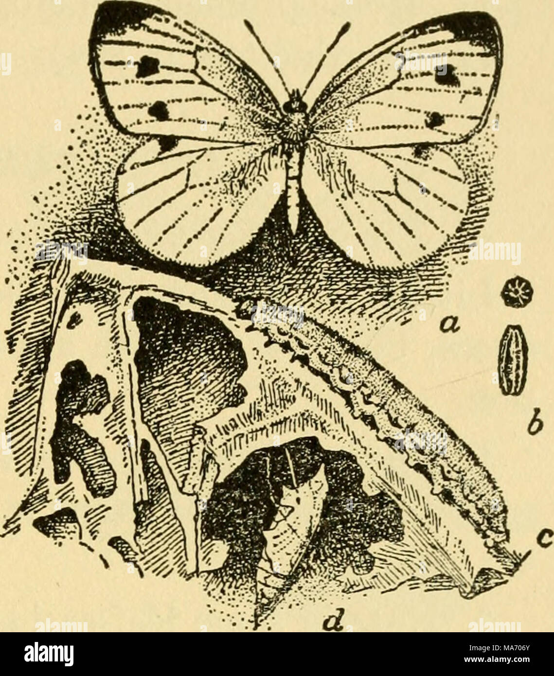 . Elementary lessons on insects . Fig. 45.—The cabbage butterfly: a, the adult; b, end and side views of two eggs, enlarged; c, larva; d, pupa. From U. S. Dept. of Agriculture. 3. Collect miscellaneous adult butterflies from the flowers by day. 4. Collect miscellaneous moths at lights by night. 5. If dried specimens are to be used keep them over night in a relaxing jar. 6. Collect moths and caterpillars of some of the abundant sorts, such as spanworms or loopers, hornworms or sphinxes, and garden cutworms. Many of the economic species listed on pages 152 and 153 will be prevalent in any locali - Stock Image