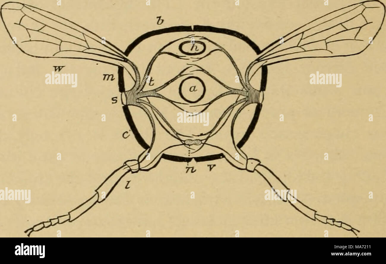 Elementary entomology . Fig. 31. Ideal section through an insect a ...