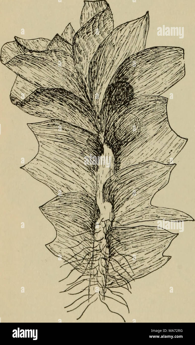 . Elementary botany . Fig. 189. Foliose liverwort, male plant showing anthe- ridia in axils of the leaves (a jungermannia). - Stock Image