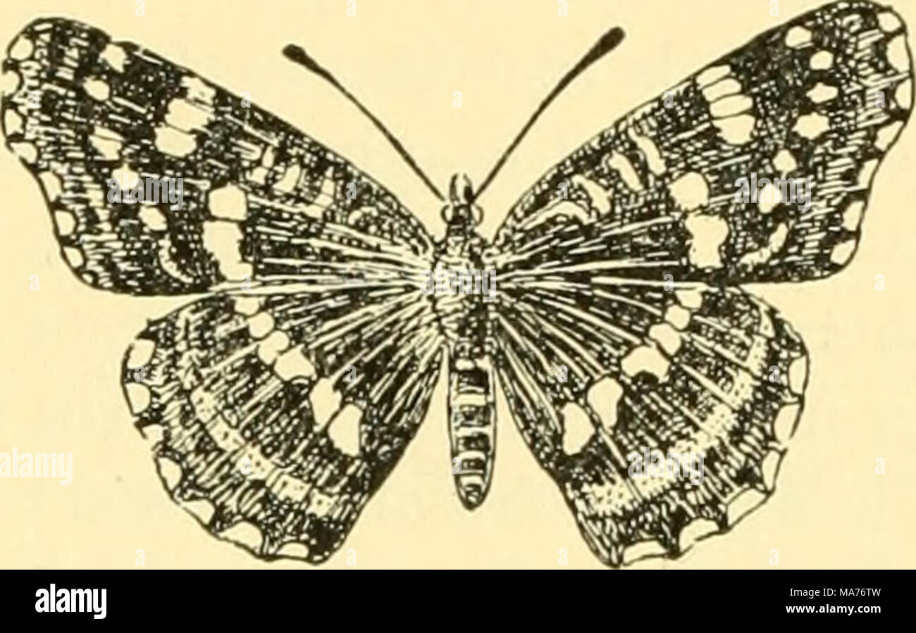 . Elementary biology; an introduction to the science of life . Fig. 123. Effect of temperature on development In the butterfly Vanessa levana prorsa the two broods have distinct patterns. By keep- ing the eggs, larvas, and pupas of the spring brood at a low temperature, it has been possible to make the imagos appear in the fall with exactly the same coloring as the spring brood. This showed that the two forms differ from each other because of the influence of the temperature are many species of butterflies that produce two broods each year. The pupa survives the winter, and the adult emerges i - Stock Image