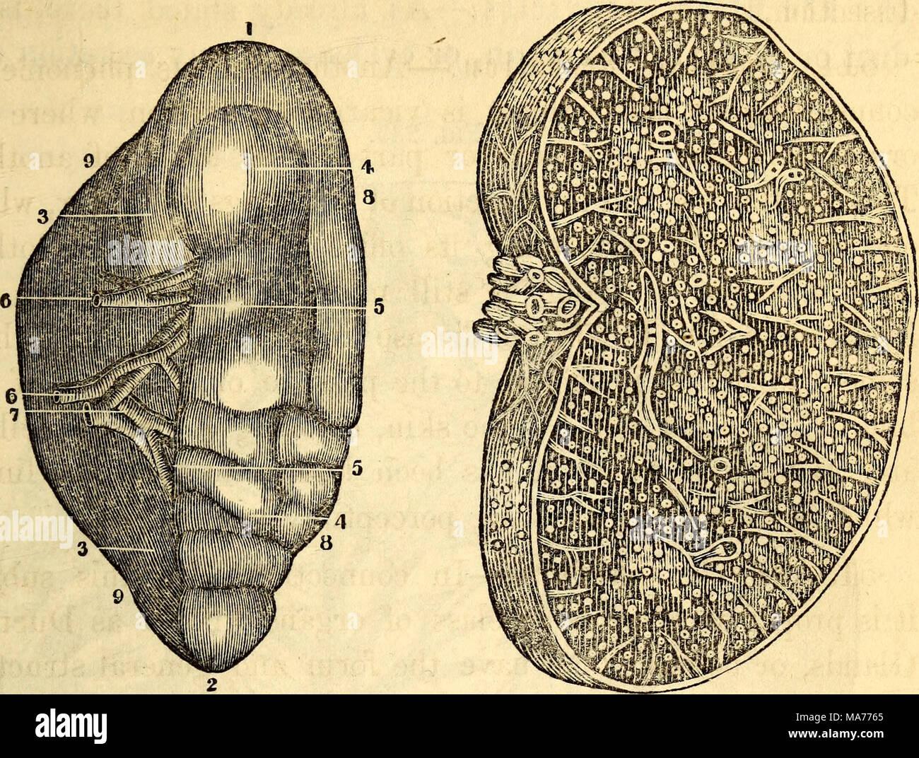 Splenic Artery Stock Photos & Splenic Artery Stock Images - Alamy