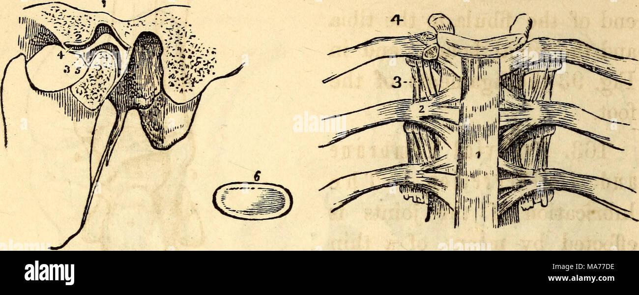 Rib Anatomy And Its Articulation Choice Image - human body anatomy