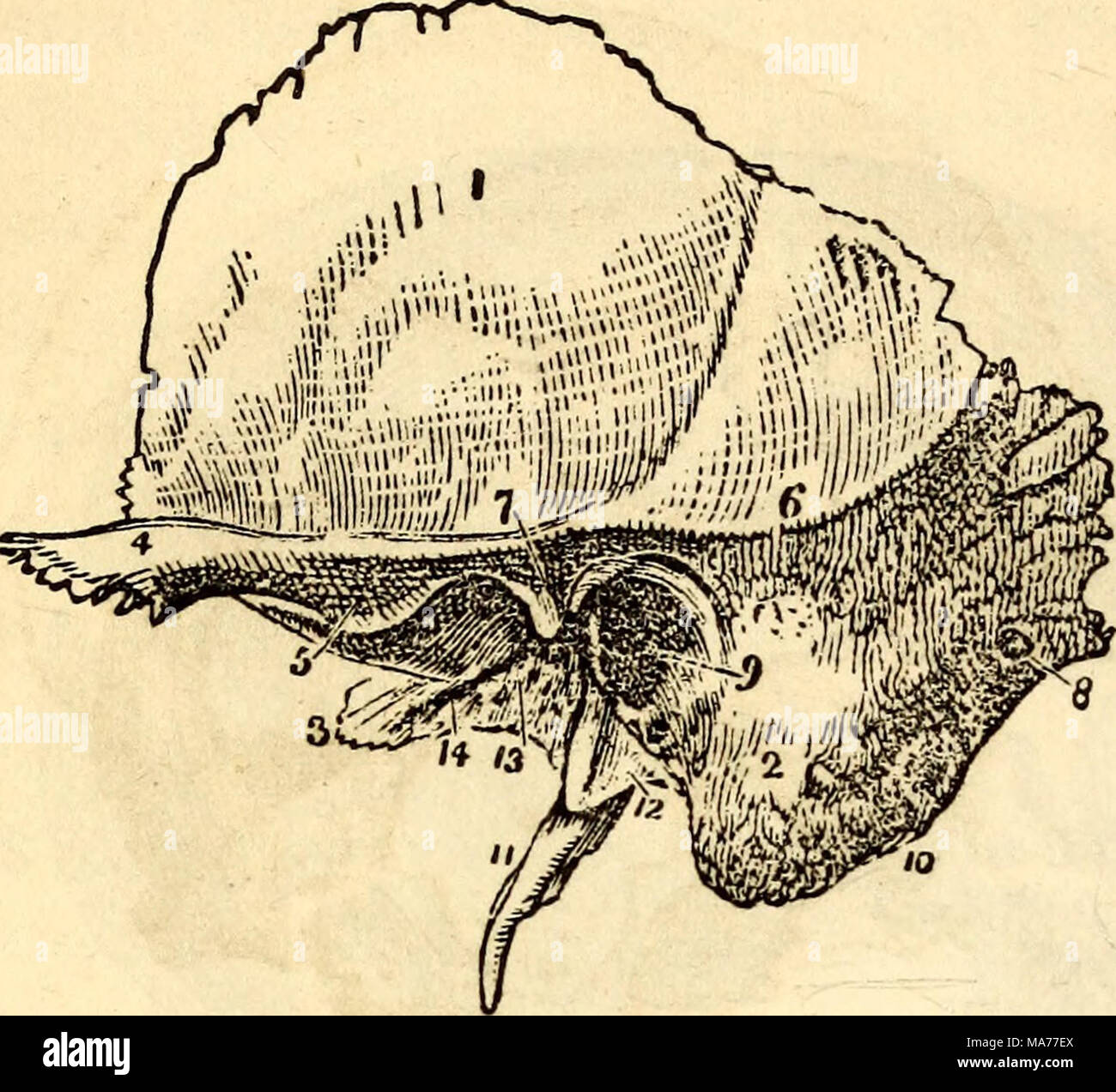 . Elementary anatomy and physiology : for colleges, academies, and other schools . Left Temporal Bone. 1, Squamous portion. 2, Mastoid portion. 3, Petrous portion. 4, Zygo- matic portion. 5, Articulating surface for lower jaw. 6, Temporal ridge. 7, Glenoid fissure. 8, Mastoid foramen. 9, Canal for ear. 10, Groove for digastric muscle. It, Styloid process. 12, Va- ginal process. 13, Glenoid Foramen. 14, Groove for Eustachian tube. Fig. 47. win - Stock Image