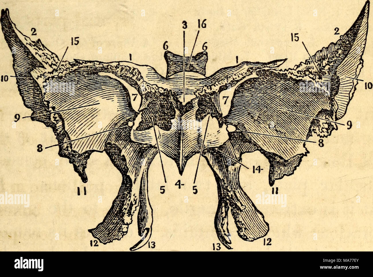 . Elementary anatomy and physiology : for colleges, academies, and other schools . The Anterior and Inferior Surface of the Sphenoid Bone. 1,1, Apophyses of Ingras- sias. 2, 2, The great Wings. 3, Ethmoidal Spine. 4, Azygos Process. 5, Sphenoidal Cells, after the removal of the Pyramids of Wistar. 6, Posterior Clinoid Processes. 7, Sphenoidal Fissure. 8, Foramen Rotundum. 9, Depression for the Middle Lobes of the Cerebrum. 10, Surface for the Temporal Muscle. 11, Styloid Process. 12, Exter- nal Pterygoid Process. 13, Internal Pterygoid Process. 14, Pterygoid Foramen. 15, Ar- ticular Face for t - Stock Image