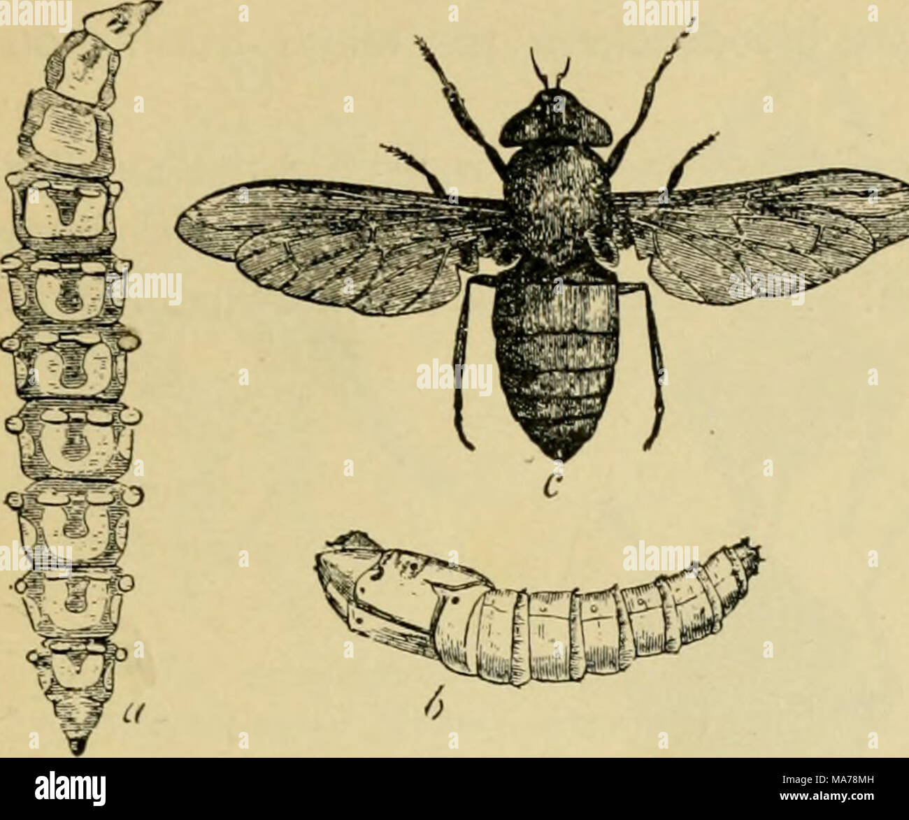 ". Elementary entomology . Fig. 361. Horse-fly {Tahanus atratics) n, lan'a ; fi, pupa ; c, adult, (.fter Riley) SHORf-HORNEl) FLIES {BRACHYCEKA) In this section the antennae are composed of from three to five segments, the famihes being divided into three groups according to the structure of the  V/ / antennae, and being fur- ther distinguished by w^^ ^^-""•••""""?=grr^^^)^.^=r:^^^grr^^^^ the wing-vcnation. .3 X. , —..-^jMBirfiii* . . ^ ev In the first group the third segment of the an- tenna is clearly ringed, showing that it is made up of several segments grown together. Horse-f - Stock Image"