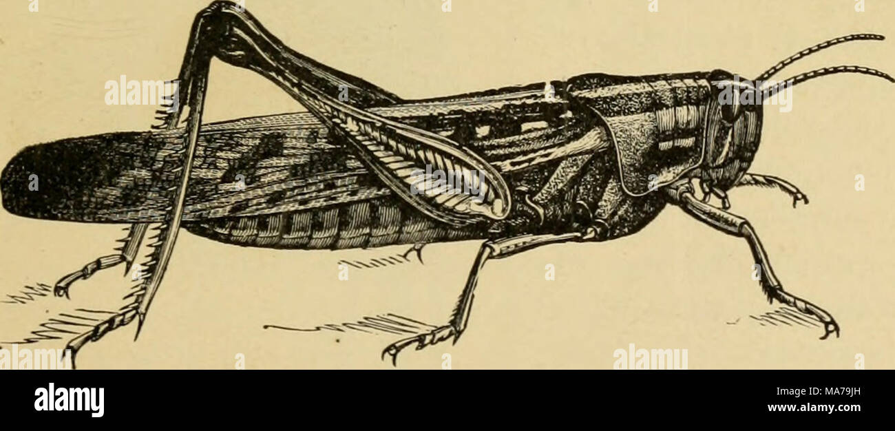 . Elementary entomology . Fig. 100. The bird grasshopper, or American locust. (Natural size) (.After Riley) the Rockies is the Carolina locust, which flies up along the roadside and in waste places where it lives. It closely matches its surroundings - Stock Image