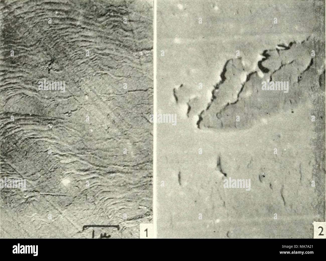 . Electron microscopy; proceedings of the Stockholm Conference, September, 1956 . Fig. I. Initiation of Wear Damage on Soft Steel. An area of running track near the start of a test run. Tiie material of the cylinder is E.N.8 steel of hardness aproximately 200 V.P.N. Plastic deformation of this fairly ductile material is evident, also small areas of surface damage produced by the displacement of material. Magnification 7500. Fig. 2. Initiation of Wear Damage on Hard Steel. Initial damage to the surface of a case hardened E. N.36 steel cylinder of hardness over 800 V.P.N. There is little plastic - Stock Image