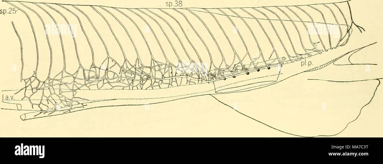 The Elasmobranch Fishes Fig 224 Nervous Collector