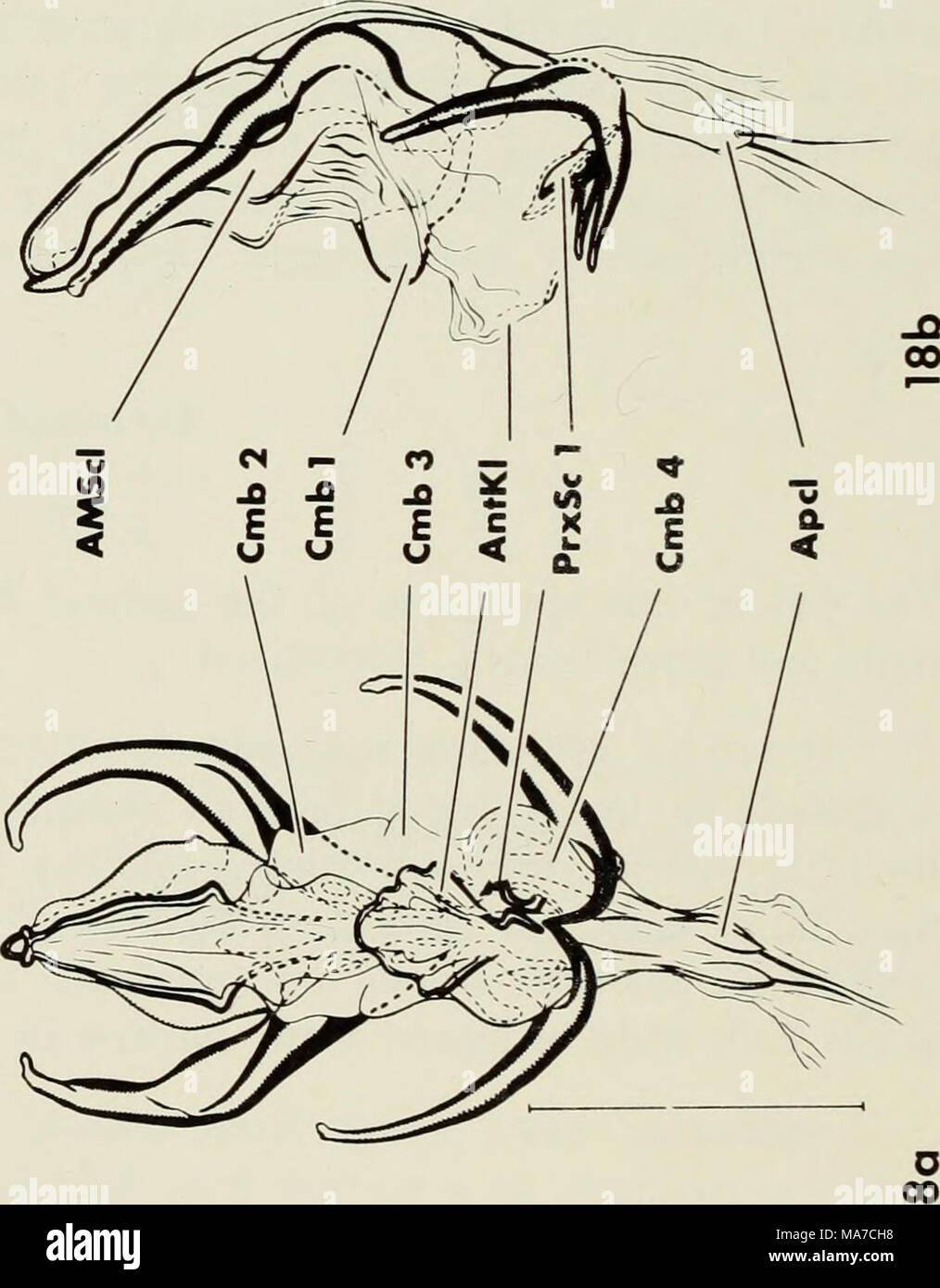 the ejaculatory complex in water mites (acari:parasitengona) : morphology  and potential value for systematics   fig  fig  fig  fig