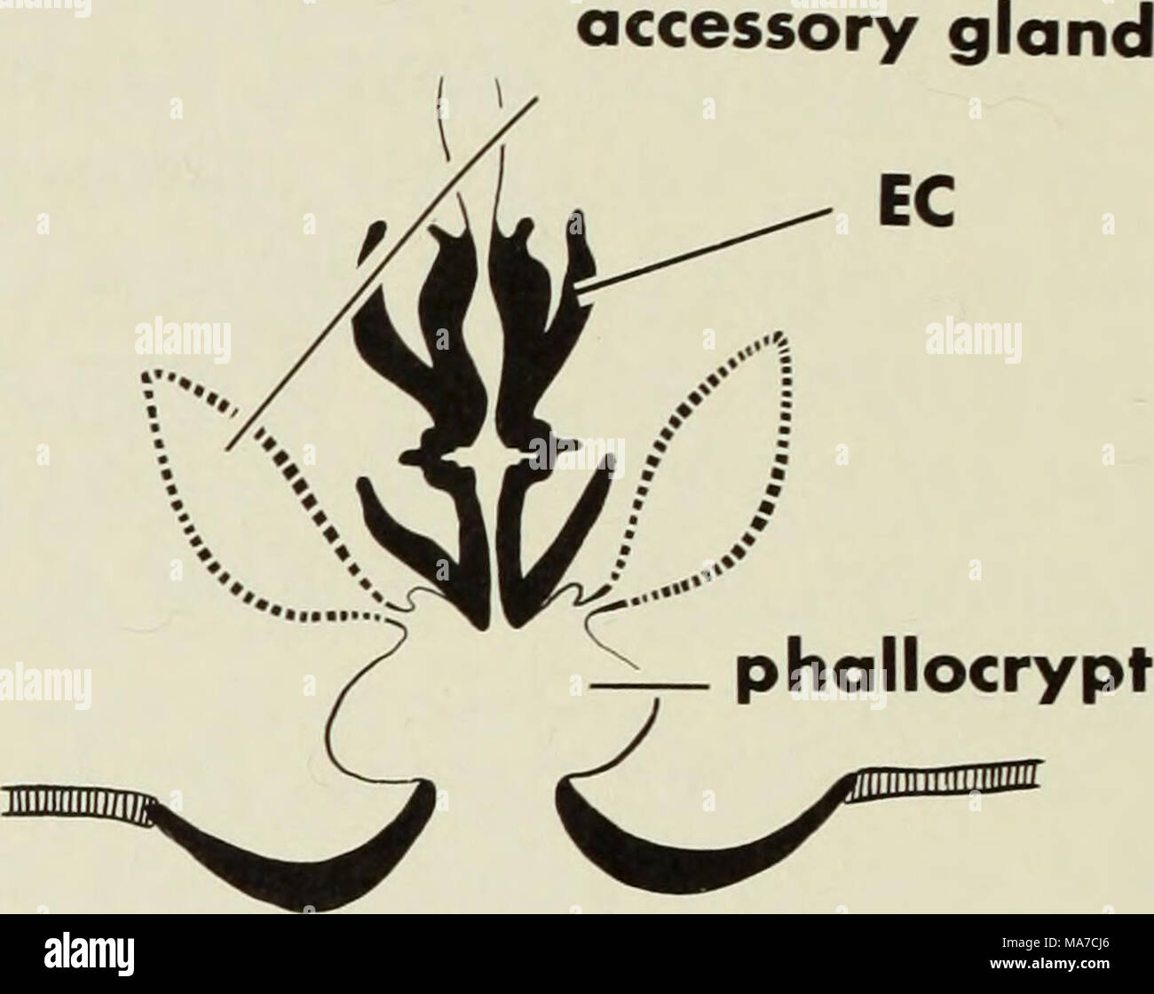 . The ejaculatory complex in water mites (Acari:parasitengona) : morphology and potential value for systematics . midgut gnathosoma lb seminal vesicle ductus ejaculatorius gland - Stock Image