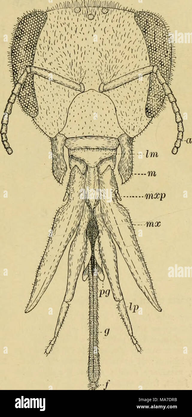 . Elementary entomology . Fig. 21. Mouth-parts of the honey-bee a, antenna; /, labellum ; g, glossa, or tongue ; bn, labrum ; Ip^ labial palpi; m, mandible ; )«.v, maxilla ; mxp, maxillary palpus ; pg, paraglossa families of flies and Hymenoptera have biting mouth-parts and are injurious to vegetation, while the adults may be entirely harmless. This difference in the mouth-parts of the same insect in different stages must be borne in mind in considering insecticides for them. - Stock Image