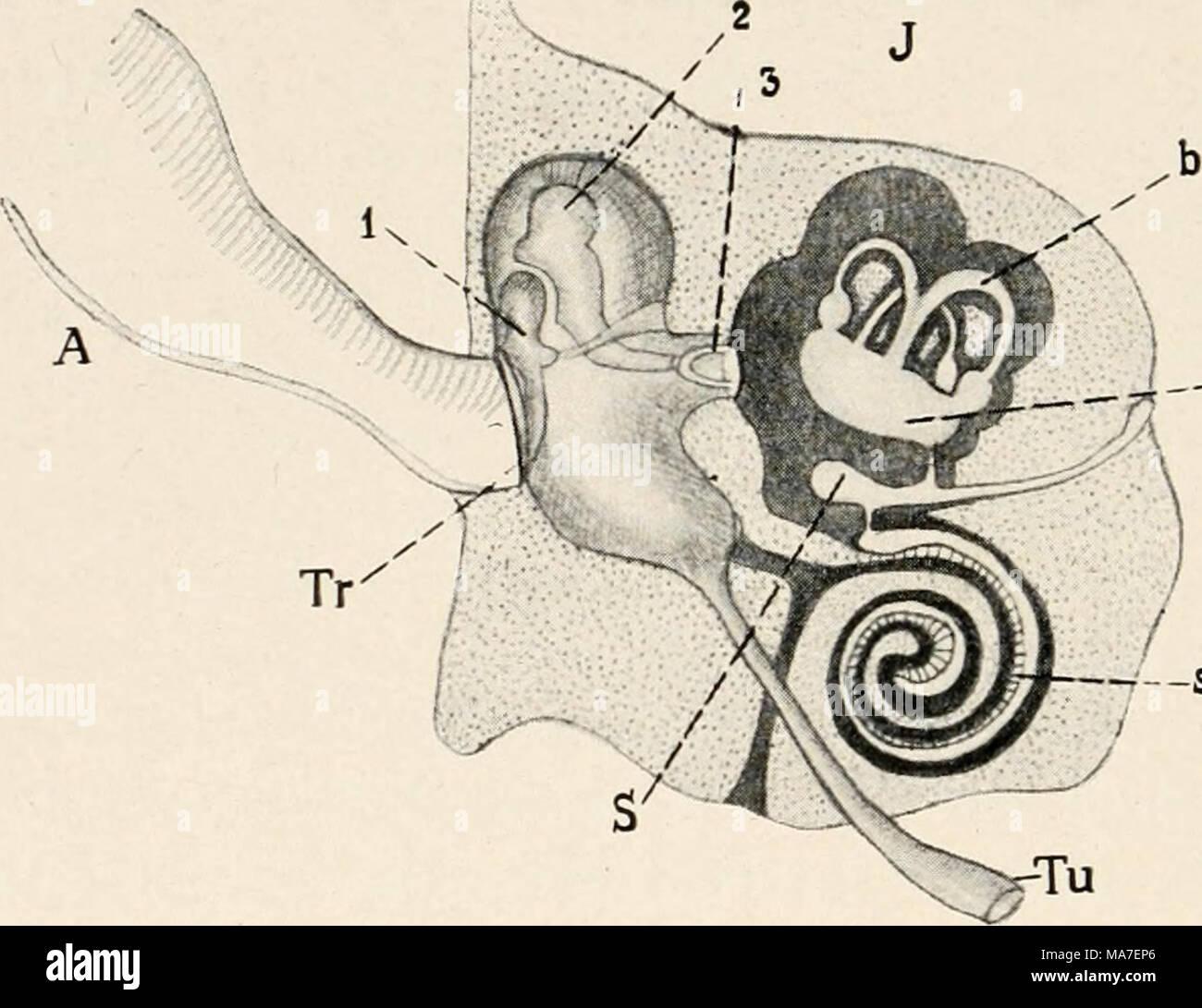 Gehörknöchelchen Stock Photos & Gehörknöchelchen Stock Images - Alamy