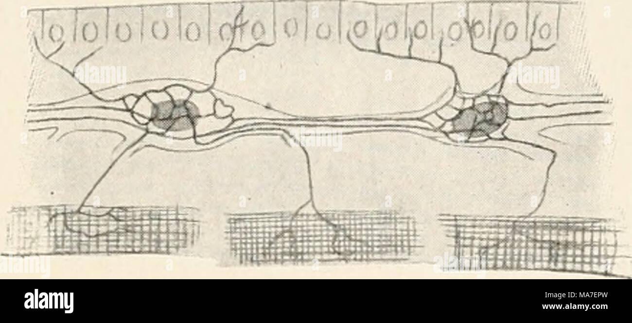Atemberaubend Zellen In Der Muskulatur Ideen - Menschliche Anatomie ...