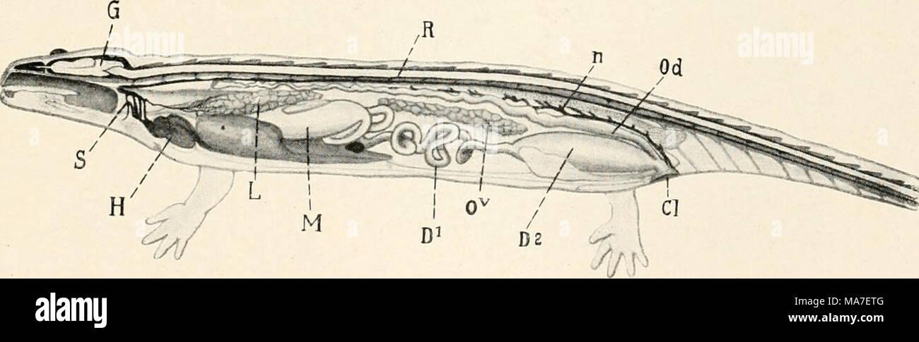 Ungewöhnlich Salamander Innere Anatomie Galerie - Menschliche ...