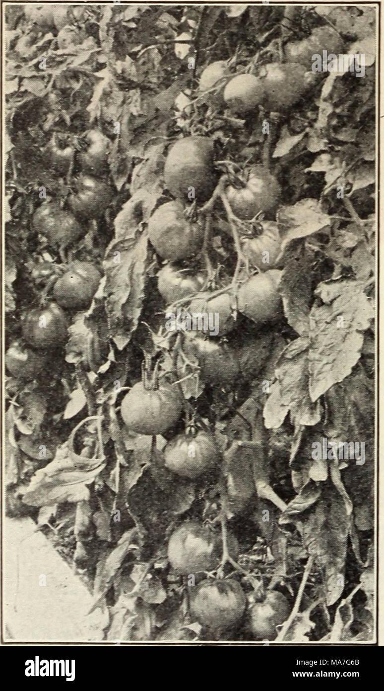 . Eighty-five super-standard strains season of 1927 . Marglobe under glass Photo through courtesy of Prof. W. B. Mack - Stock Image