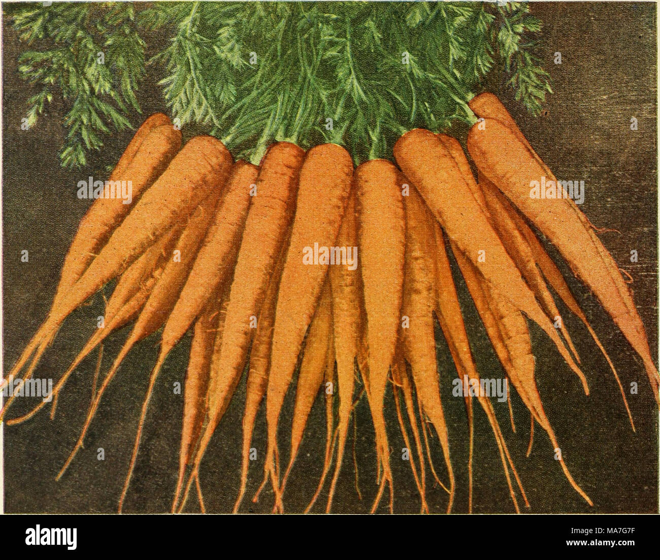 6a95582e457c4 . Eighty-five super-standard strains season of 1927 . Coreless Amsterdam A  comparatively unknown Carrot in America. The variety and the handling of it  hold ...