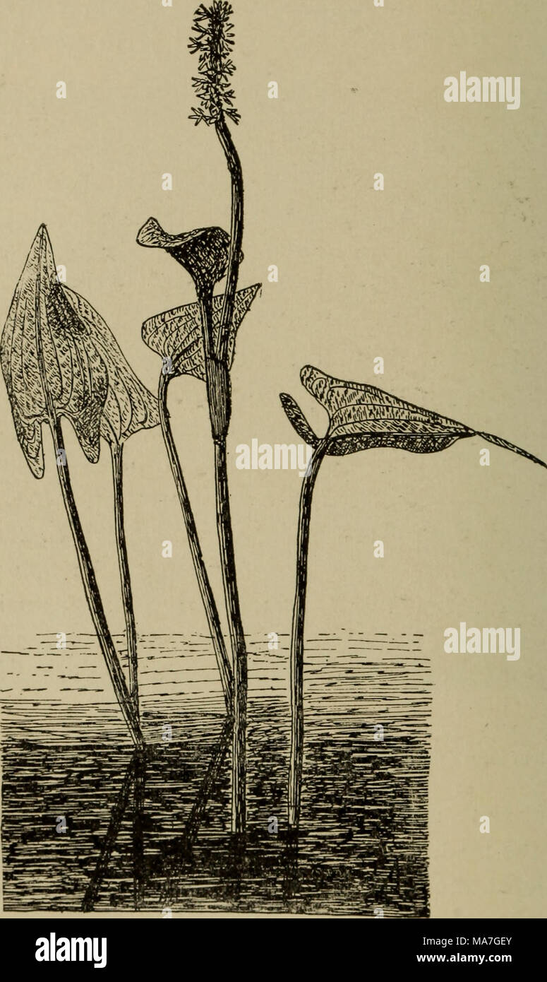 . Elementary botany . Fig. 499. Pontederia, showing leaves and flower spike. as spirogyra, oedogonium, cladophora, etc., floating on the placid water in the foreground. Slender stems of zizania rise like shooting stars among the flags, with scirpus crowding near, while masses of the flowers of the thoroughwort are sheltered by - Stock Image