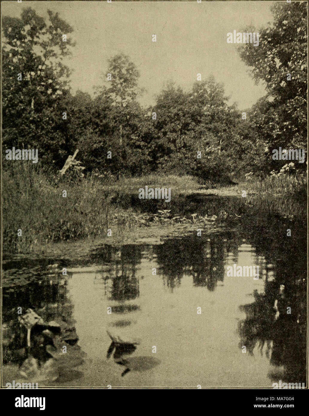 . Elementary botany . Fig. 500. Yellow water lily on jutting arm in stream. (Photograph by the author.) float their leaves and flowers on the quiet water, while the small yellow flowers of the mud plantain (Heteranthera graminifolia) glitter in the sunlight. The arrow-leaf (Sagittaria heterophylla, - Stock Image