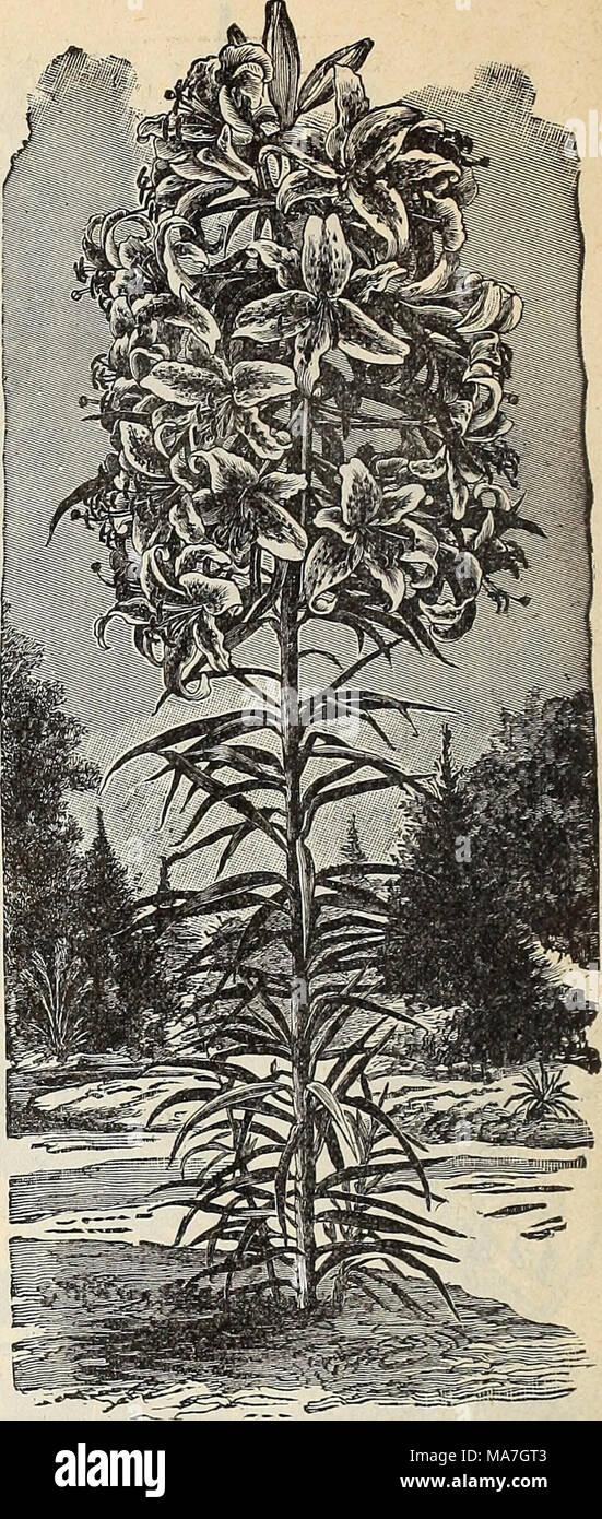 . E. H. Hunt : seedsman . BERMUDA EASTER LILY. - Stock Image