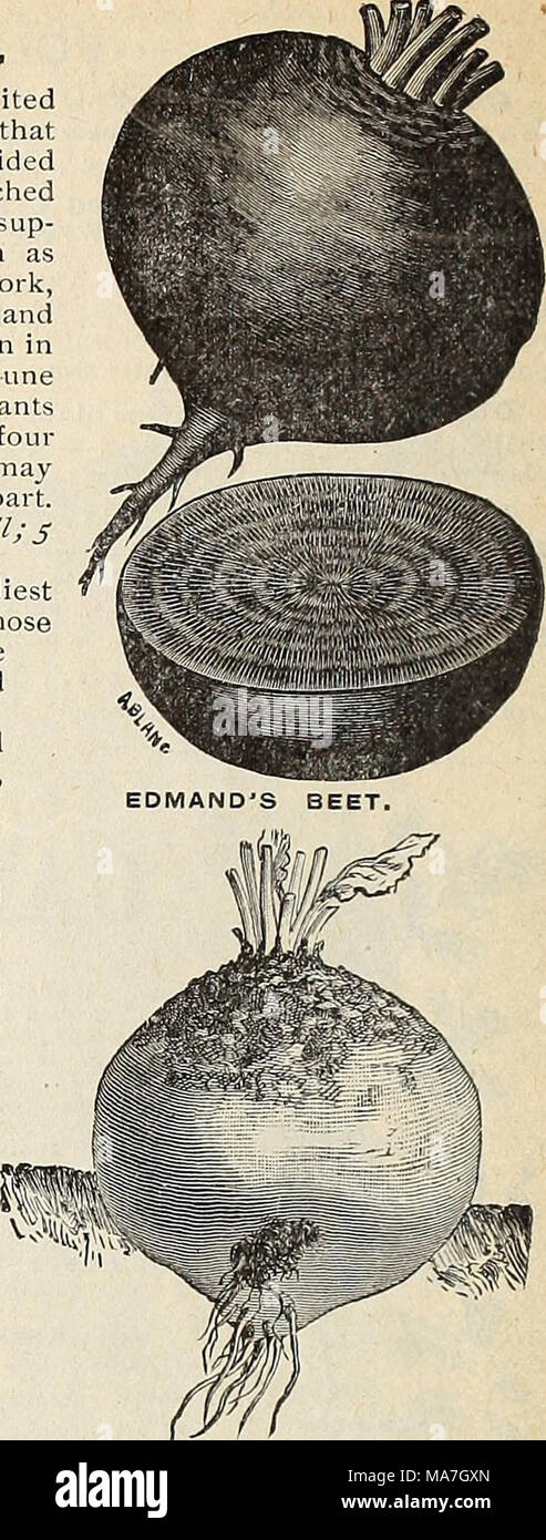 . E. H. Hunt : seedsman . YELLOW GLOBE MANGEL, MANGEL WURZEL AND SUGAR BEETS. The following varieties are extensively grown for feeding stock. As they grow much lar- ger than the varieties cultivated for table use, tliey require more room, and should be sown in drills about two feet apart. The seeds sliould be dropped about two inches apart in the drills, and when strong enough, thinned out to twelve or fifteen inches in the row. The long varieties are best suited to a deep soil, and the globe sorts 1 succeed better than the long sorts on sandy soil. Sow to 6 MAMMOTH LONG RED MANGEL. Ricli soi Stock Photo