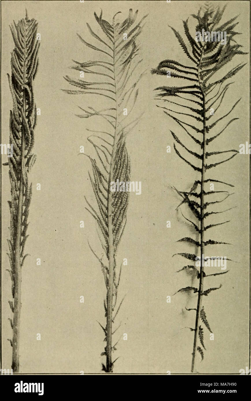 . Elementary botany . Ostrich fern transformed. Fig. 449. showing one normal sporophyll, one partly transformed, and one completely retain moisture, and they also catch leaves and other vegetable matter which falls from the trees. In this position the leaves decay and then serve as food for the fern. - Stock Image