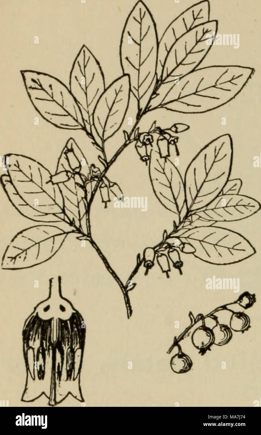 . Elementary botany . Fig. 378. Whortleberry (Gaylussacia re sinosa). - Stock Image
