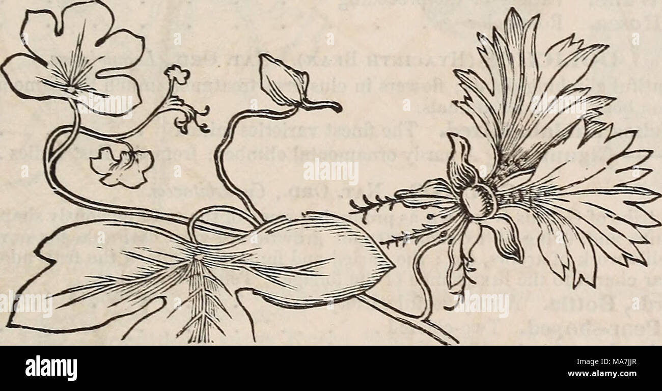 . E. Fred Washburn's amateur cultivator's guide to the flower & kitchen garden for 1880 . .25 .10 .10 canary-bird flower. CANARY-BIRD FLOWER. Nat. Ord., Tropceolacece. The popular name of this pretty little annual alludes to the supposed resemblance of the flower to a bird with its wings expanded, the spur of calyx representing the head, and the two upper petals the wing. From Mexico. 781 Canary-Bird Flower (TropcBolum Peregrinum). Half-hardy annual. 20 feet . .10 CLITORIA. Nat. Ord., Leguminosce. Splendid free-flowering greenhouse climbei's, with large elegant pea-shaped flow- ers, of gre - Stock Image