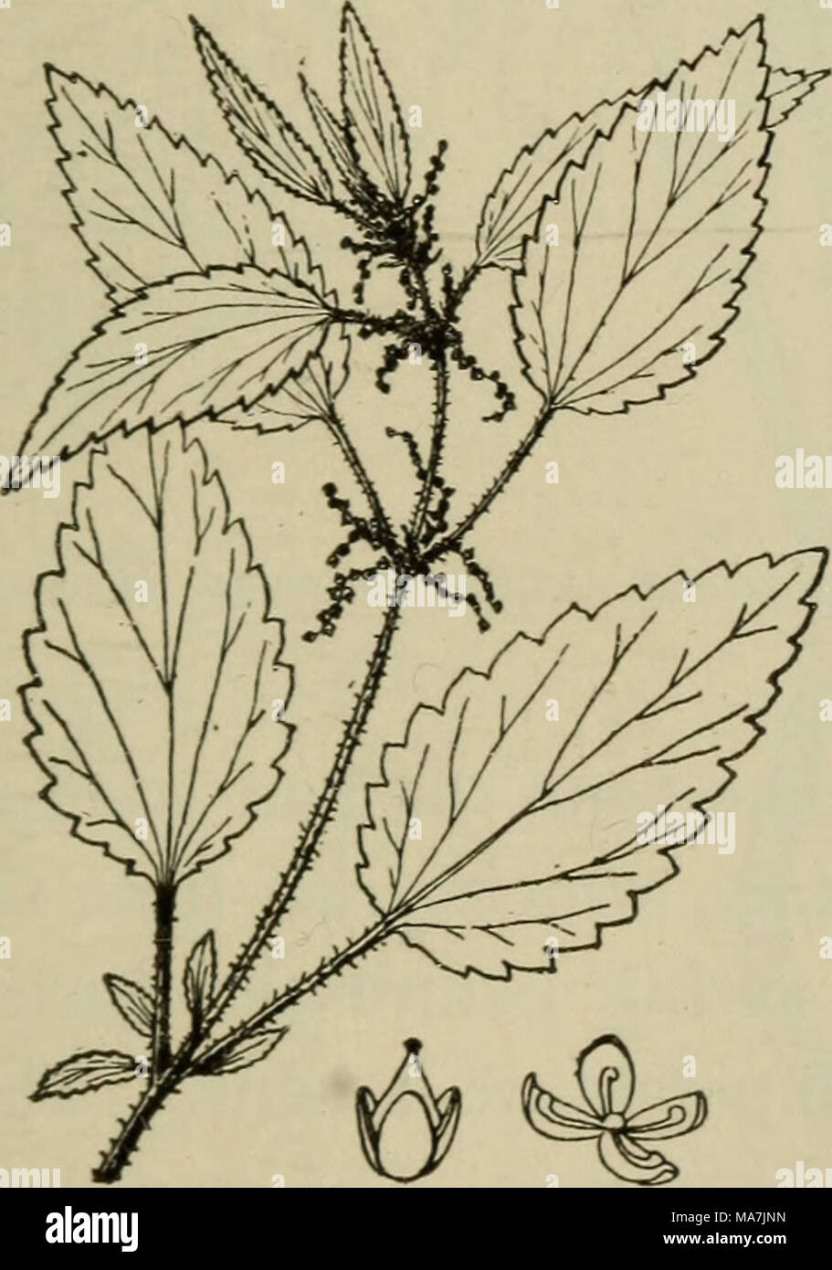 . Elementary botany . Fig. 344- The dioecious nettle (Urticadioica), showing leaves, flower clusters, and below staminate flower at the right and pistillate flower at left. - Stock Image