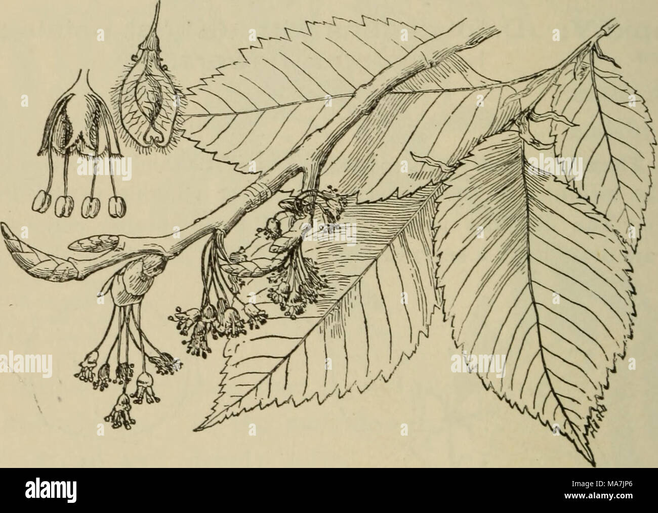 . Elementary botany . Fig- 347- Spray of leaves and flowers of the American elm ; at the left above is section of flower, next is winged seed (a samara). present when the leaves first come from the bud soon fall away. The flowers are in lateral clusters, which arise from the axils of the leaves, and appear in the spring before the leaves. They hang by long pedicels, and the petals are absent. The calyx is bell-shaped, and 4-9-clett on the margin. The stamens vary also in number in about the same proportion. A section of the flower in fig. 347 shows the arrangement of the parts, the ovary in th - Stock Image