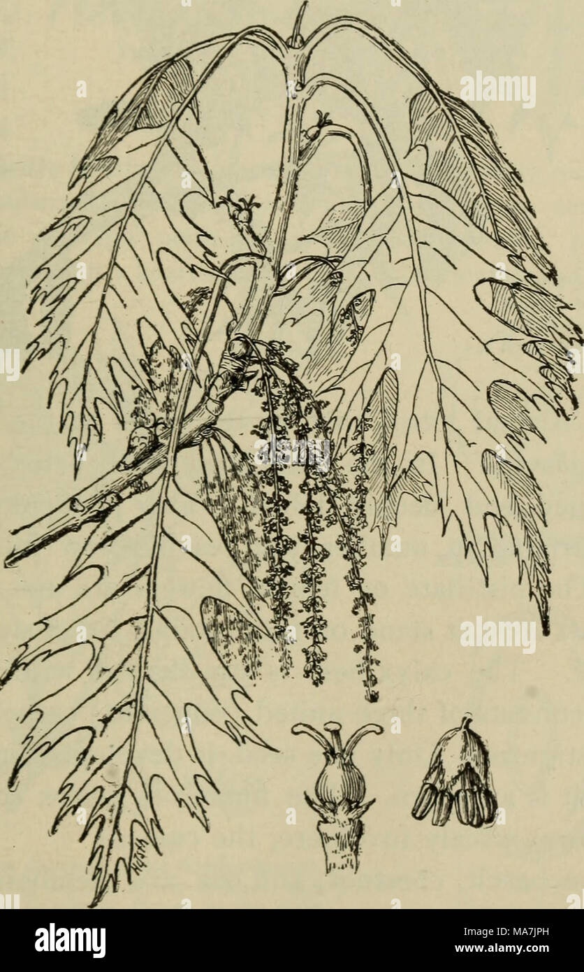 . Elementary botany . Fig. 342. Spray of oak leaves and flowers. Below at right is staminate flower, at left pistillate This is one of the rarer oaks, and is difficult for the beginner to distinguish from the scarlet oak. The white oak is perhaps in - Stock Image