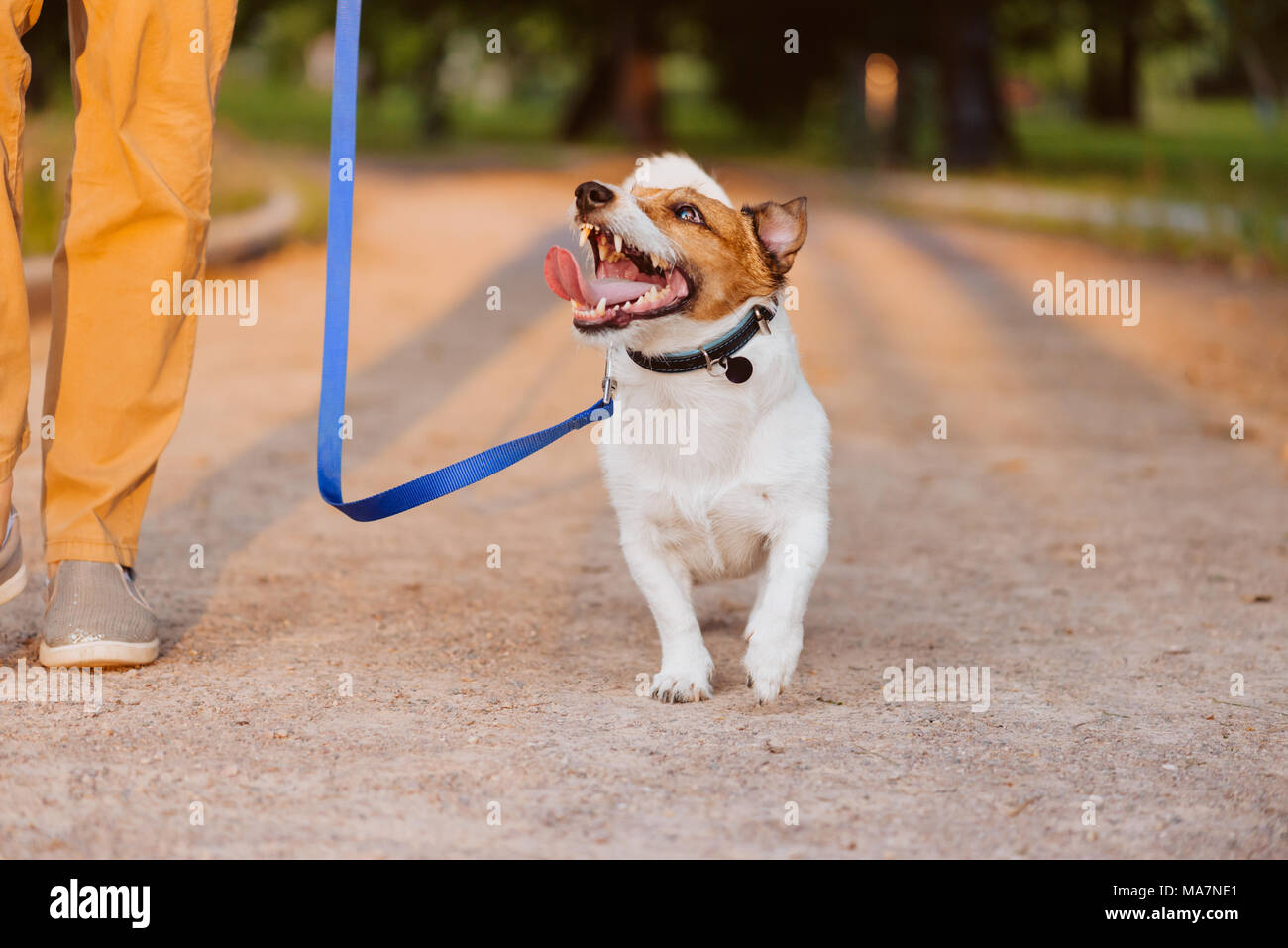 Kindly dog on leash looking up at owner walking at park - Stock Image
