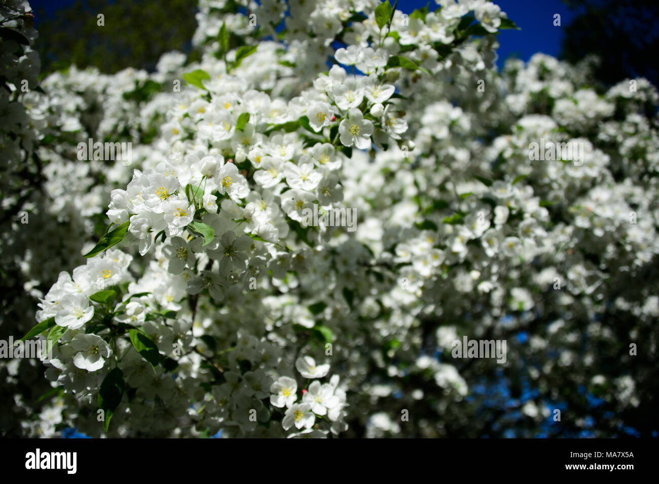 White flowers bloom on a crabapple tree during spring at msgr white flowers bloom on a crabapple tree during spring at msgr mcgolrick park in brooklyn new york city may 2013 mightylinksfo