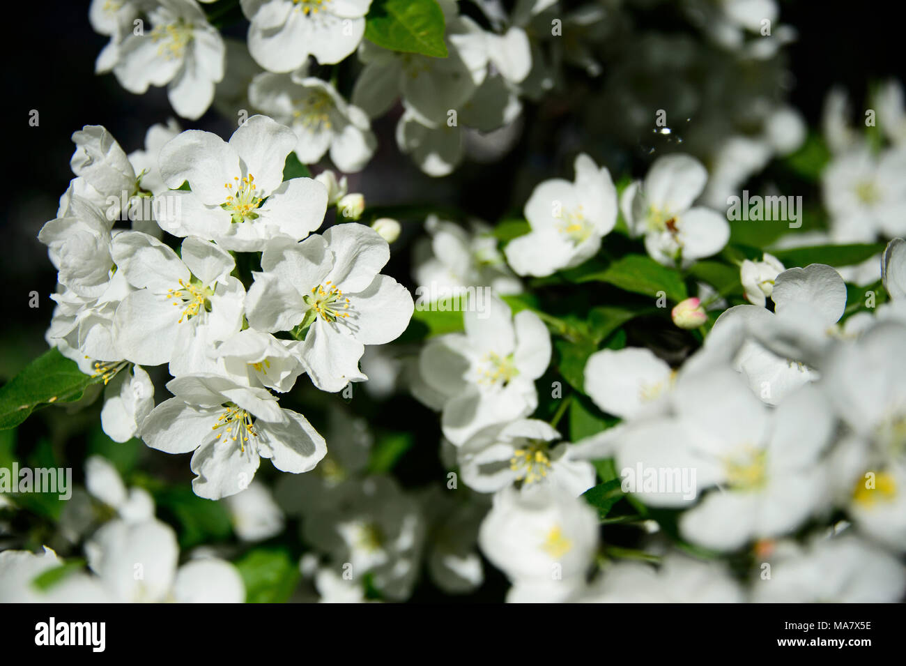 White Flowers Bloom On A Crabapple Tree During Spring At Msgr