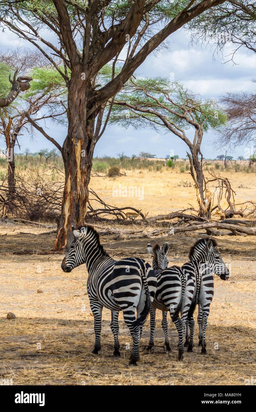 Safari, Tanzania, Travel in Africa - Stock Image