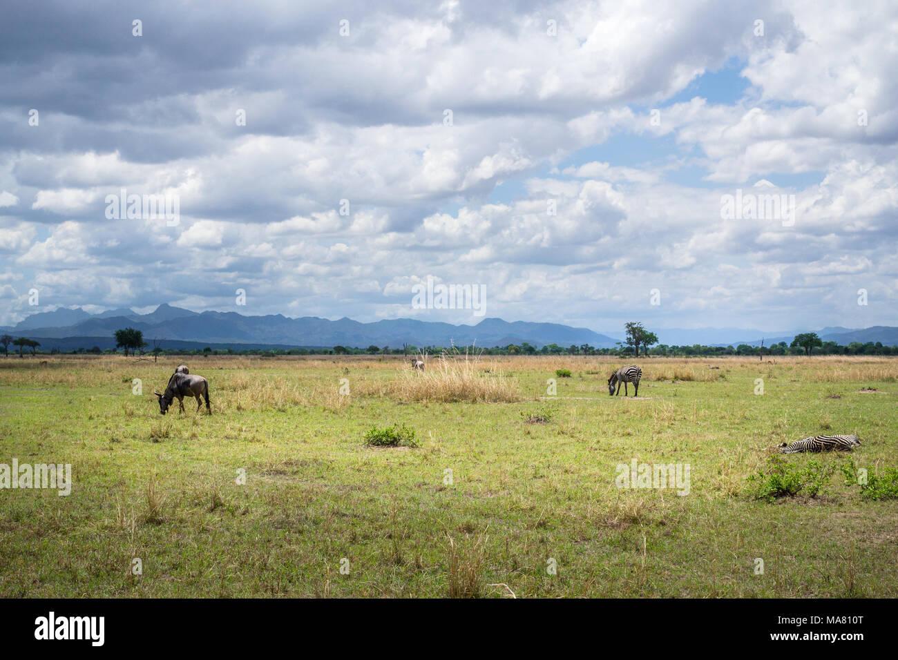 Safari, Tanzania, Travel in Africa, african lion safari african safari best african safari tours best place for safari - Stock Image