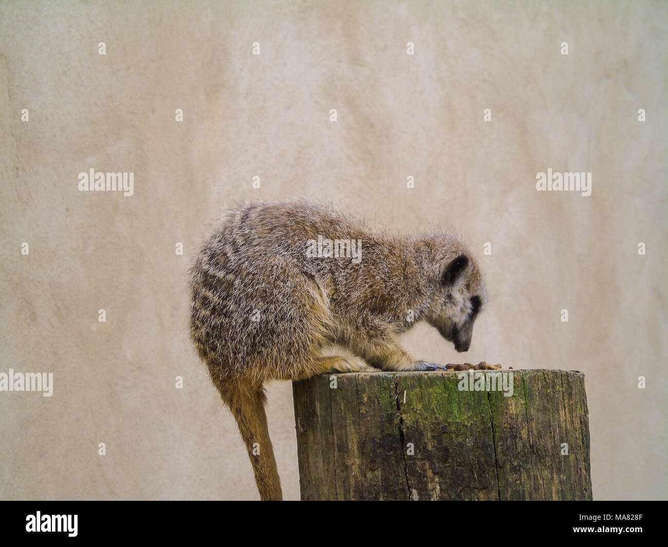 Meerkat Mania- Lots of meerkats sitting and wlaking around - Stock Image