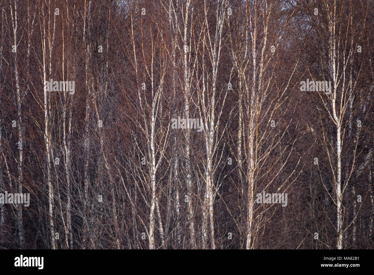 Abstract nature background, birch tree trunks with no leaves - Stock Image
