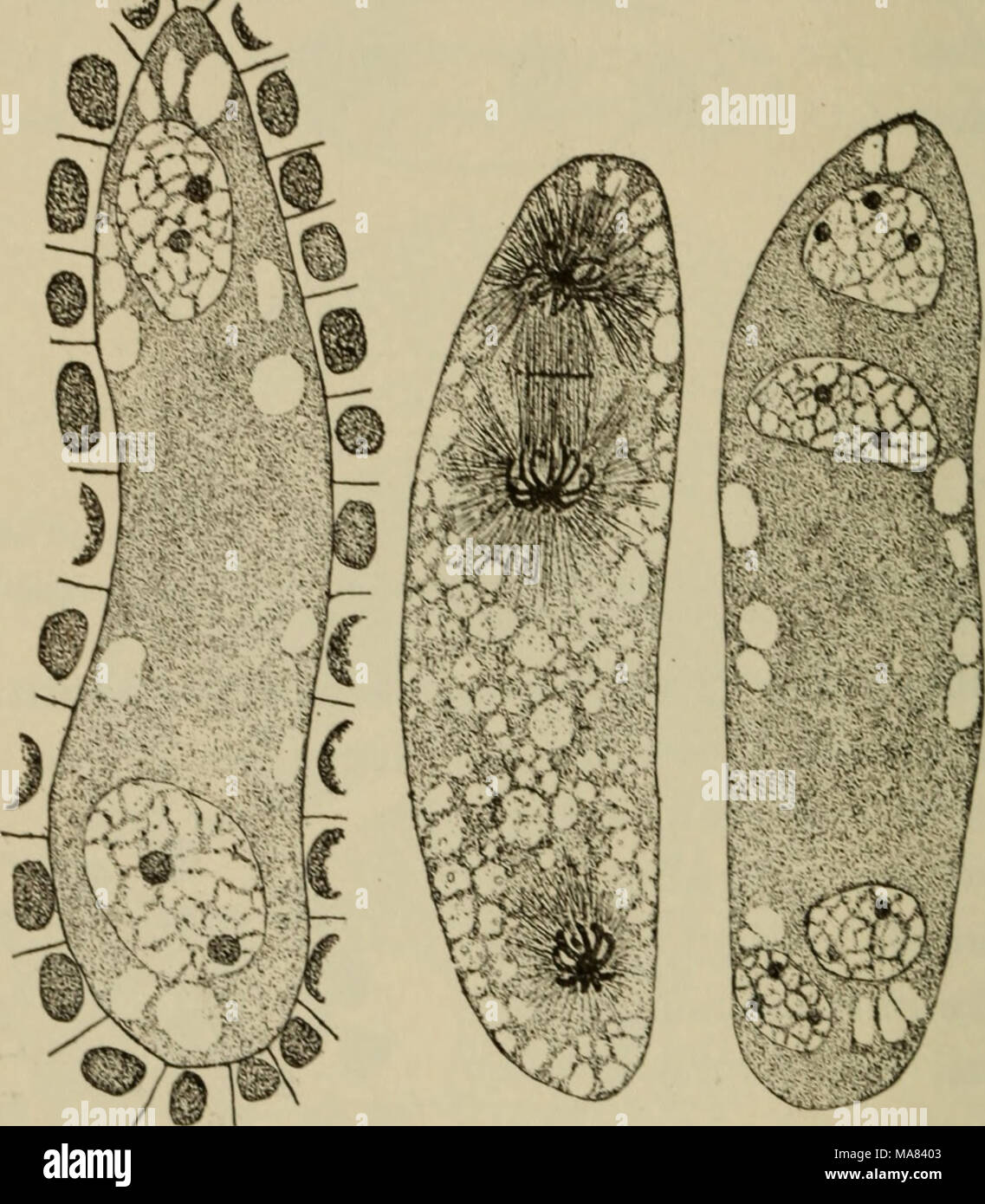 . Elementary botany . Fig. 304, Two- ami four-celled stage of embryo-sac of lilium. The middle one shows di ision nuclei to form the four-celled stage. (.Easter lily.) sperms, and in the angiosperms, fertilization, as we have seen, consists in the fusion oi a male nucleus with a female nucleus. Fertilization, then, in plants is identical with that which takes place in animals. 458. Embryo.—After fertilization the egg develops into a short row of cells, the suspensor of the embryo. At the free end the embyro develops. In figs. 309 and 310 is a young embryo of trillium. 459. Endosperm, the matu Stock Photo