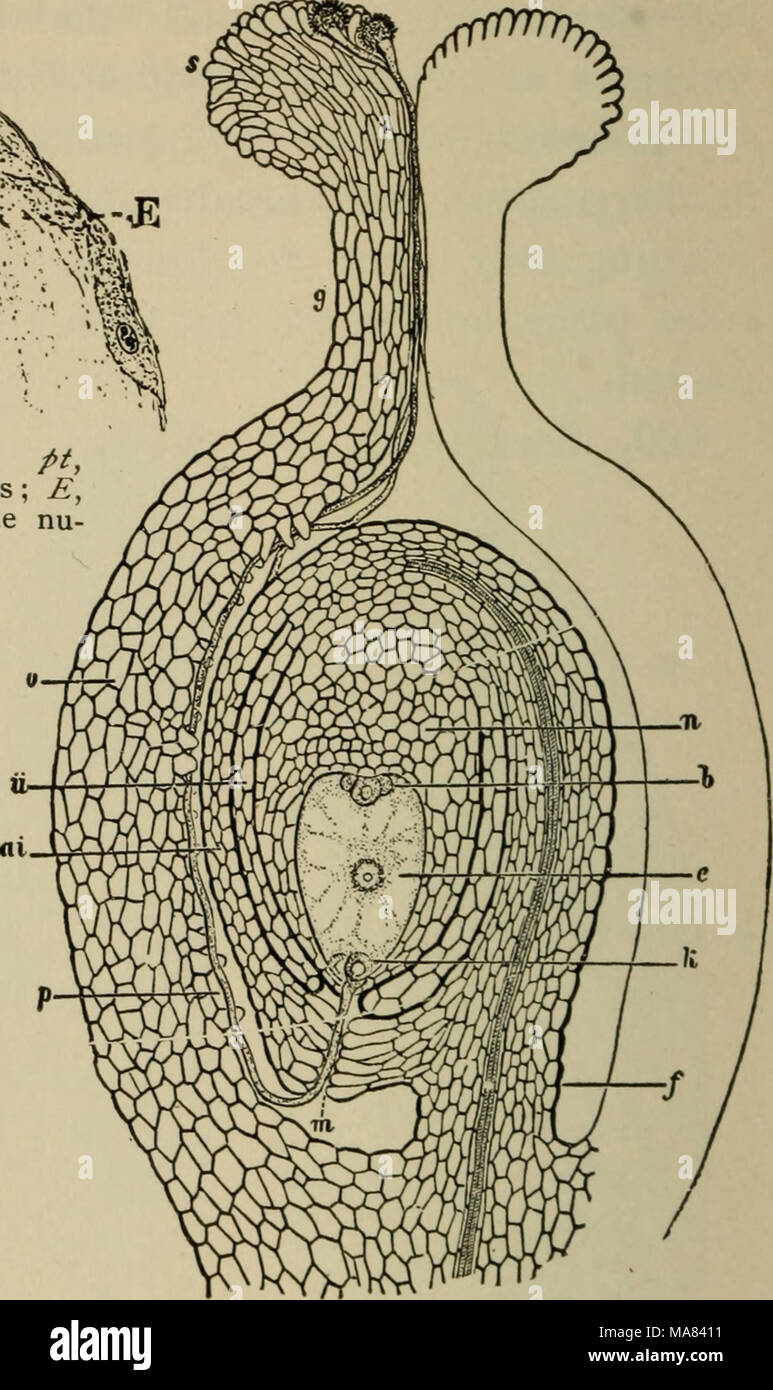 """. Elementary botany . the integuments increase in extent and harden as the seed is formed. 461. Perisperm. — In most plants the nuce llus is all consumed in the devel- opment of the endosperm, so that only minute frag- ments of disorganized cell walls remain next the in- ner integument. In some plants, however, (the water- lily family, the pepper """" ^ig. 308. J J 1 rr Diagrammatic section of ovary and ovule at time family, etc.,) a portion of of fertilization in angiosperm /, funicle of ovule; J '/ x Hi nucellus; ;;/, micropyle; o, antipodal cells or the nucellus remains in- embryo sac ; *, end Stock Photo"""