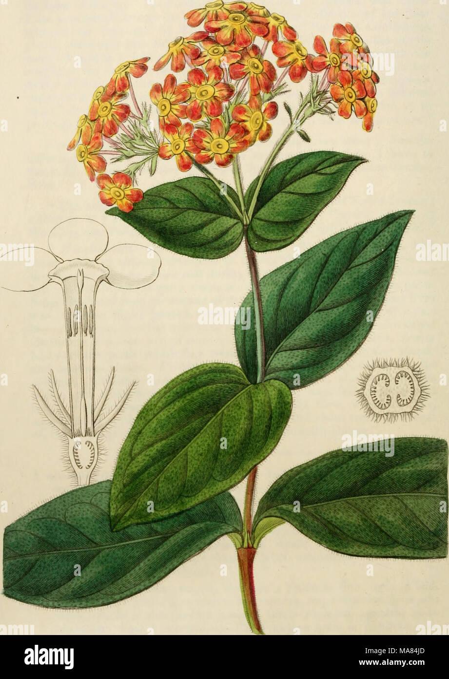 . Edwards' botanical register, or, Ornamental flower-garden and shrubbery .. . jKcjra^toA^, .i4^. ,'V..,,,..,, f^a ^icaiML y/-«-^ /. ^'^'-''6. ^ ^^i^iid/. ^. - Stock Image
