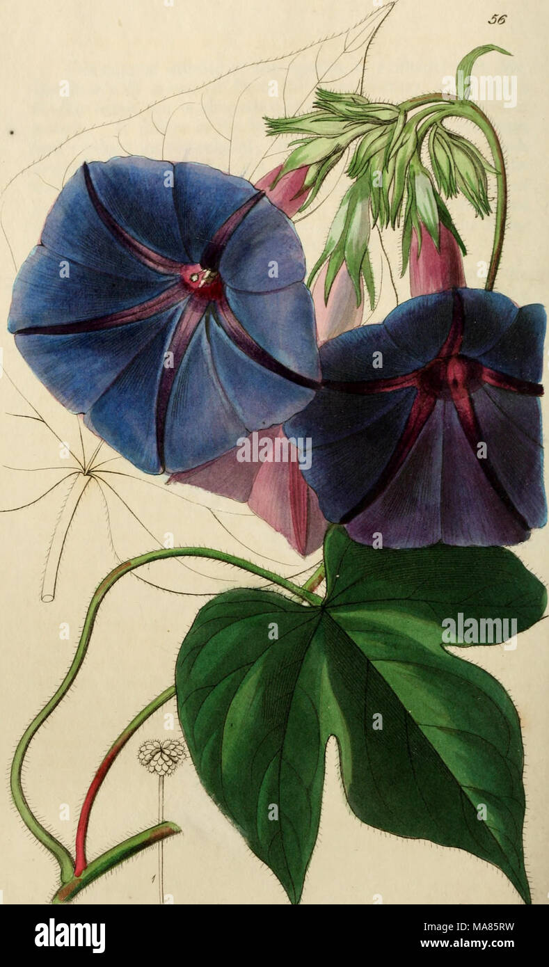 . Edwards' botanical register, or, Ornamental flower-garden and shrubbery .. . 'Xlti W ioAm <Ut %jri^ f^Ud^^^fMc^dMiO^nitifi smvvi*?* - Stock Image