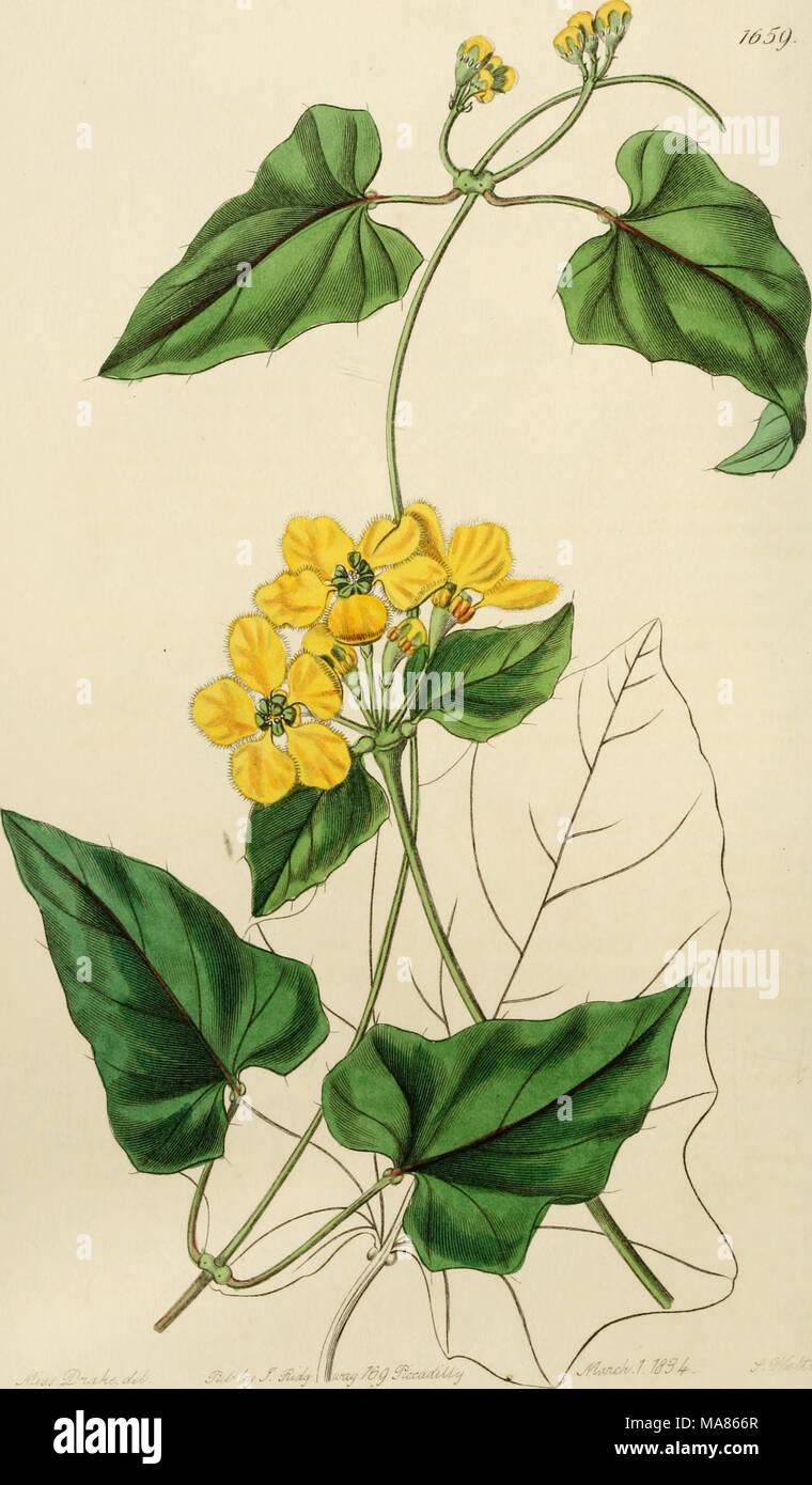 ". Edwards' botanical register, or, Ornamental flower-garden and shrubbery .. . â toA^.y^'. ^u-^ J^ Js-^-mtuf ^i^p ^""xa^^ - Stock Image"