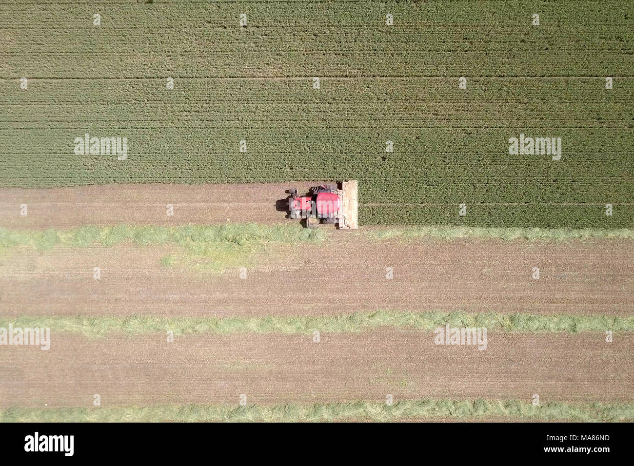 Aerial footage of a Red Combine harvester harvest a green wheat field - Stock Image